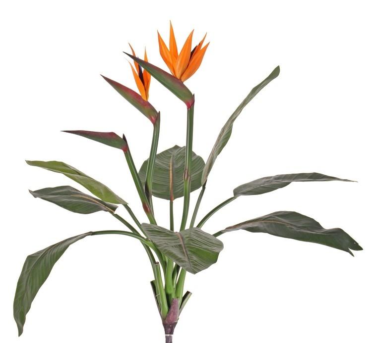 Strelizia, 2 flores y 1 capullo, 8 hojas, con maceta, 70 cm