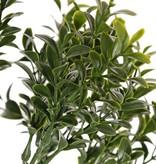 Buxustak (Buxus sempervirens) 6 vertakkingen, met 48 bladtoeven (672 blad), 47cm