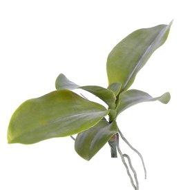 phalaenopsis bladtoef met wortels 35cm