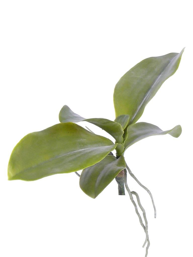 Orchideenblaetter, 6 Stk., mit Wurzeln, 35cm