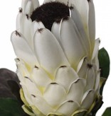 Protea (baardsuikerbos) 75cm