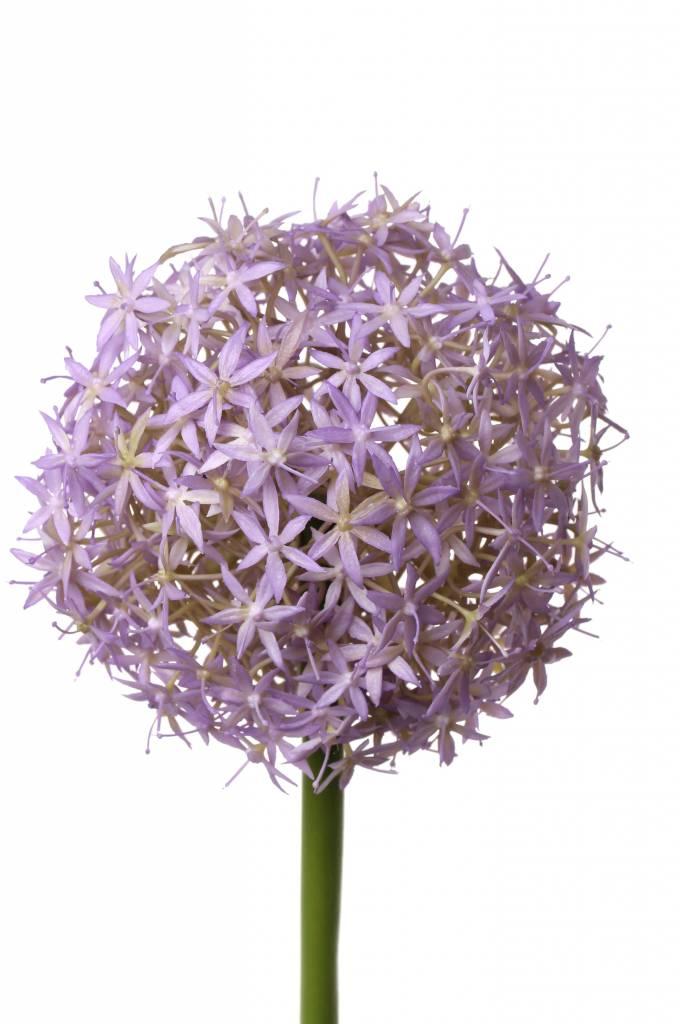 """Allium """"Grande"""", Ø 12cm, 76cm"""