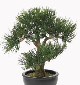 Bonsai Angel Pine, 43 hojas, 33cm