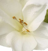 """Amaryllis (hippeastrum) """"Lisa"""" 3 grande flores, 1 capullo, 54cm"""