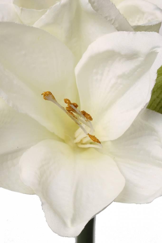 """Amaryllis (hippeastrum) """"Lisa"""" x3 big flrs & 1 bud 54cm"""