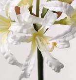 Nerine bowdenii,  6 flores, 71cm
