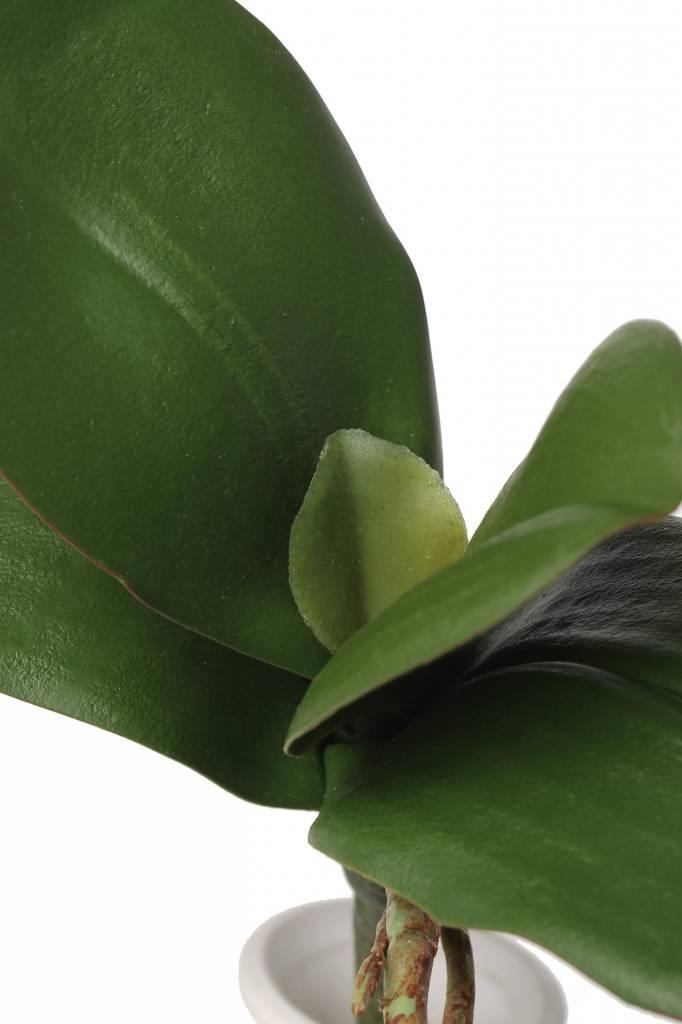 Orchid leaves x5 w roots, <--> 22cm