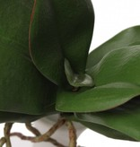 Orchid leaves x7 w roots, <--> 30cm