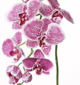 Phalaenopsis groot x6 3knp 75cm Ø 8-11cm