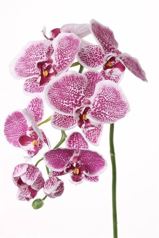 Phalaenopsis x6 3buds, 75cm Ø 8-11cm