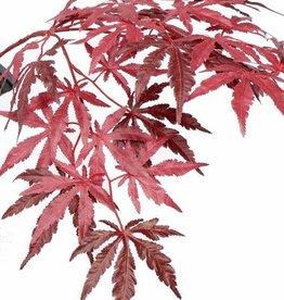 Japanse esdoorn - Acer, 70cm 36 bladeren, brandvertragend