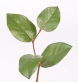 Apfelblattzweig mit 4 Blaettern 35cm
