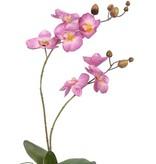 Phalaenopsisplant x2 x7fls x8bd, w/root & lvs. 75cm
