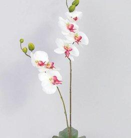 Phalaenopsis x2, 7 flor,  8 capullo  75cm