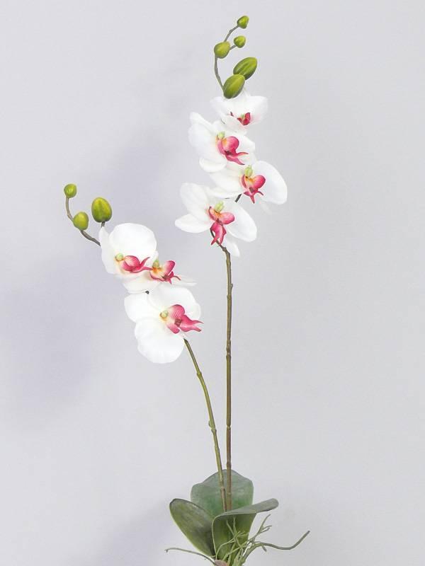 Phalaenopsis Orchidee mit Blatt & Wurzeln 75cm
