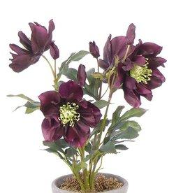 Helleborus 4 flores y 5 capullos, 43 cm