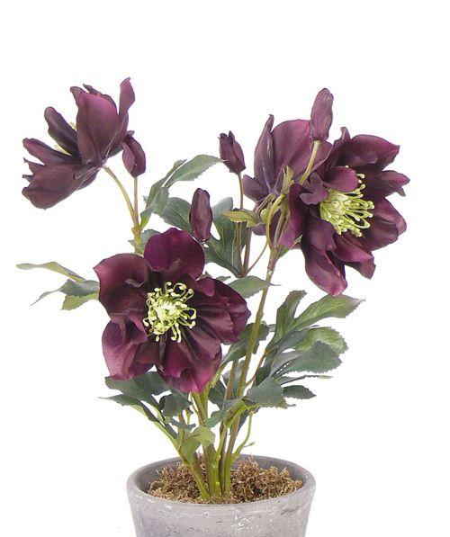 Helleborus Christrosen, 4 Blumen & 5 Knospen, 43 cm