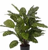 Calathea makoyana x52 con maceta 67cm , Ø 65cm