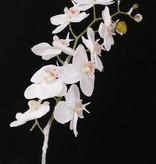 Phalaenopsis m Schnee stiel 81cm