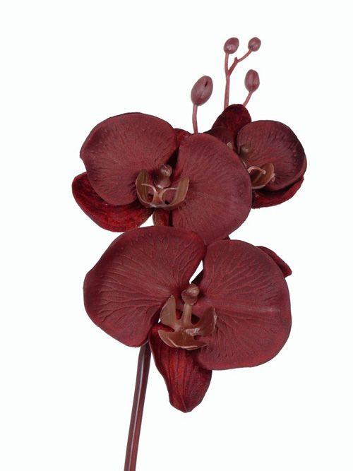 Phalaenopsis x3f, 4bud, pl am st 61cm