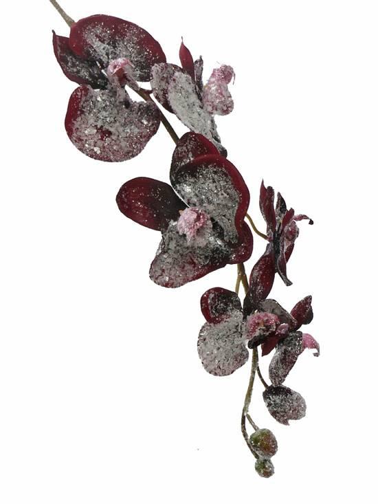 Phalaenopsis ijs x6/3B
