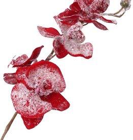 Phalaenopsis ice x6/3B