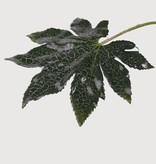 Fatsia leaf short 20cm