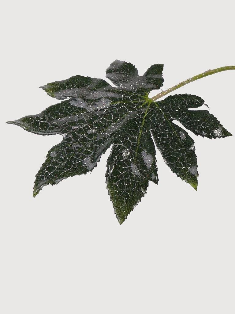 Fatsiablad nerfkleur steker 15cm