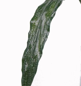 Aspidistra leaf vein color, silver, 70cm