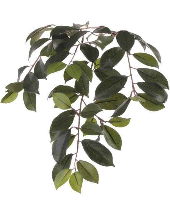 """Ficus microcarpa """"Retusa"""", 60 leaves, 65cm"""