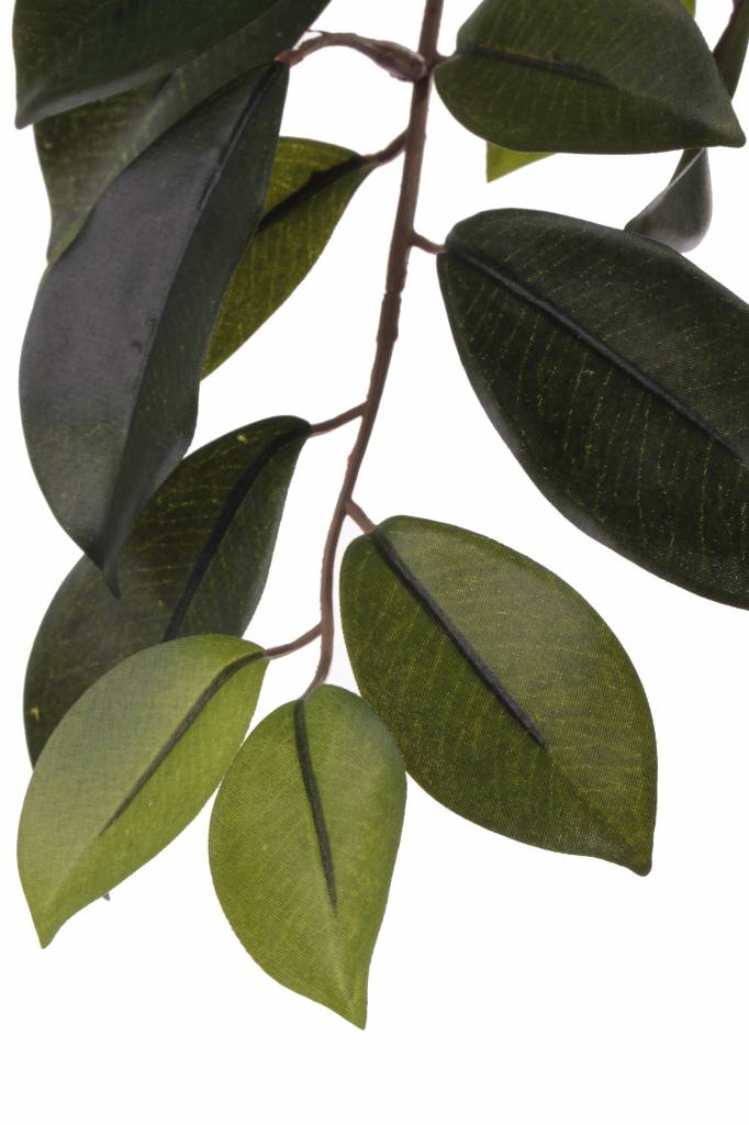 "Ficus Microcarpa ""Retusa"" bladtak, 60 bladeren, 65cm"