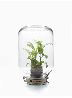 Pikaplant Jar Fittonia