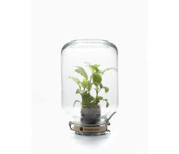 Pikaplant Jar Fittonia