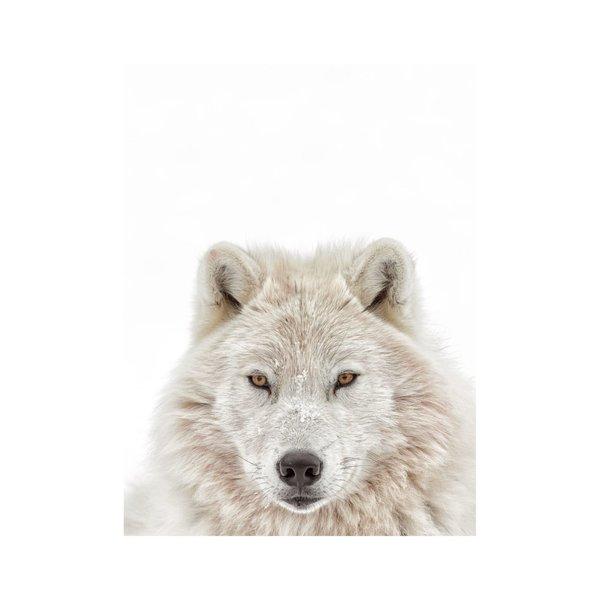 Weißer Wolf Tiermotiv - Raubtier - Porträt - Poster Papier 40 x 50 cm