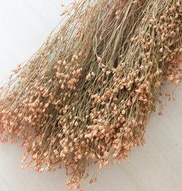 Broom bloom abrikoos