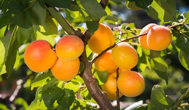 De abrikoos