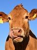 Sock My Feet sock my cow maat 39/42