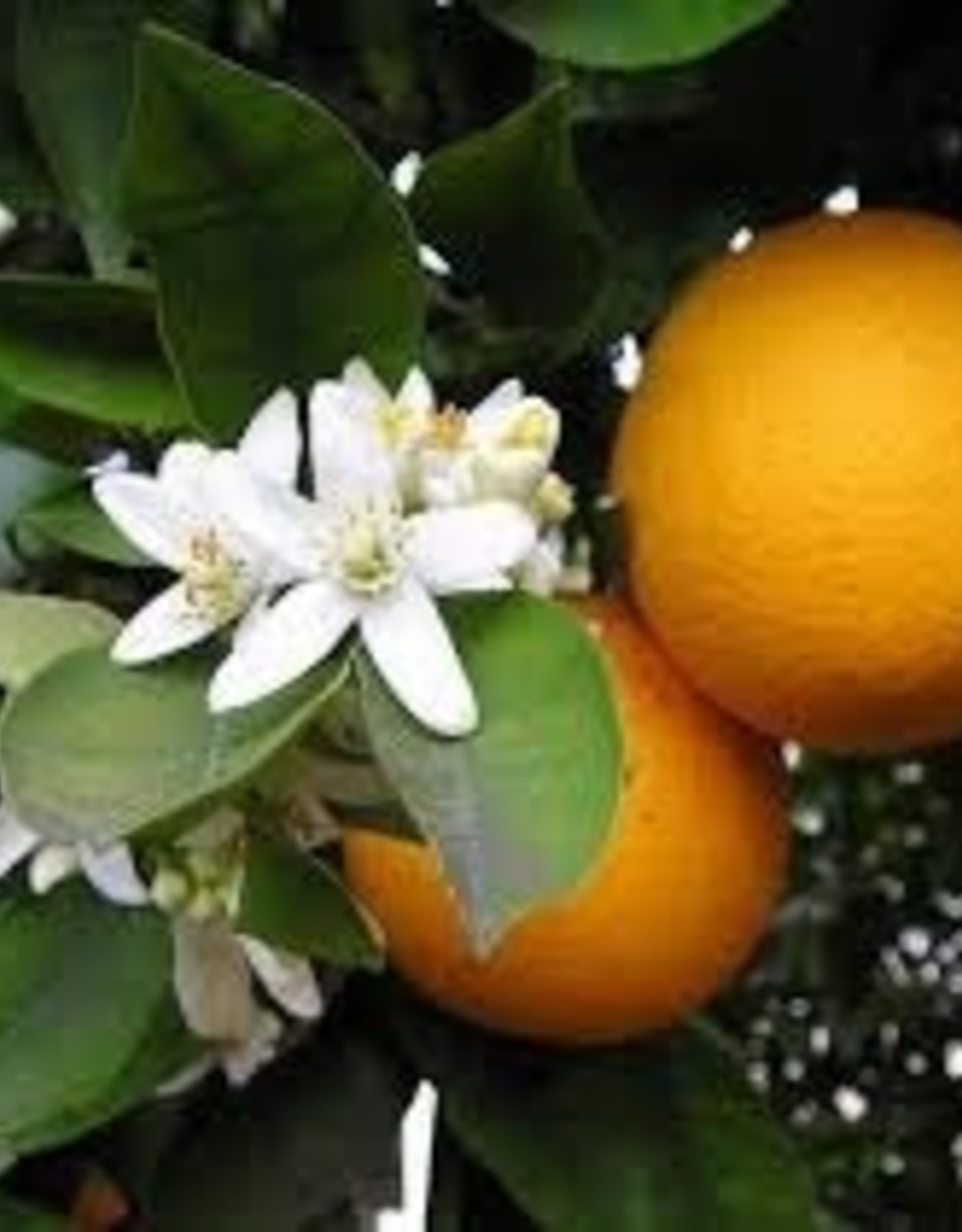 Utsukusy Oranjebloesem hydrolaat toner lotion