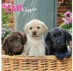 Labrador Retriever Mixed Kalenders