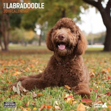 Labradoodle Calendriers