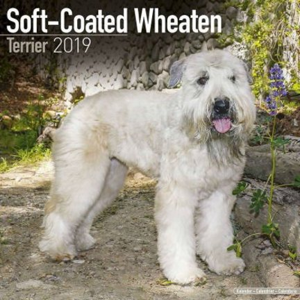 Les calendriers Coated Wheaten Terrier doux