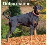 Dobermann Calendriers