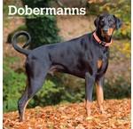 Dobermann Kalenders