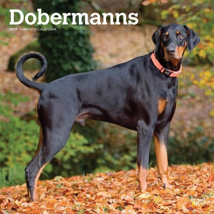 Dobermann Kalender