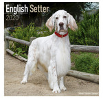 Setter anglais Calendriers