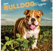 Browntrout Engelse Bulldog Kalender Puppies 2020