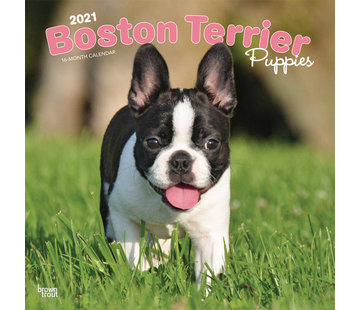 Browntrout Chiots Boston Terrier Calendrier 2021