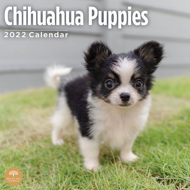 BrightDay Chihuahua-Welpen-Kalender 2022