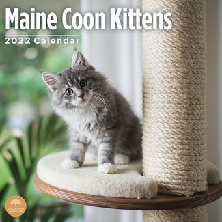 BrightDay Maine Coon Kittens Calendar 2022