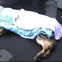 Anzeichen von Hitzestress beim Hund